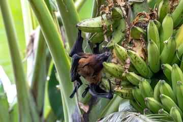 greater indian fruit bats of sri lanka