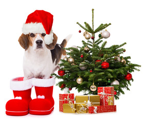 Adult beagle dog standing in santa boots next to a christmas tree isolated on white background