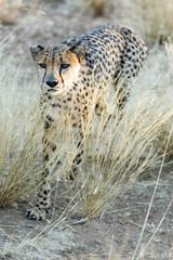 Gepard (Acinonyx jubatus), laufend