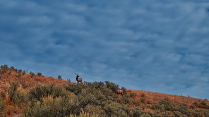 Morning Elk on Hillside, Yellowstone National Park