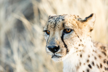 Gepard (Acinonyx jubatus), Tierportrait