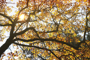 Autumn tree with yellow leaves and sun bem