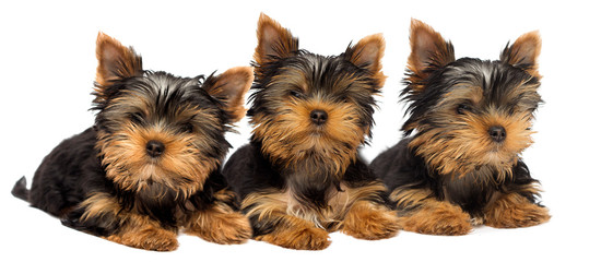 cute yorkshire terrier puppy on white background