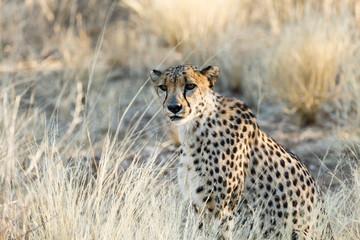 Gepard (Acinonyx jubatus), sitzend
