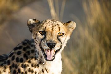 Gepard (Acinonyx jubatus), fauchend, Tierportrait