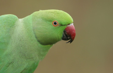 A pretty head shot of a ring-necked, or rose-ringed Parakeet. It is the UK's most abundant naturalised parrot.