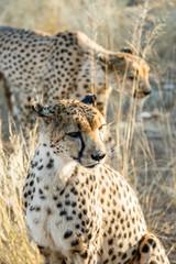 Zwei Geparde (Acinonyx jubatus), sitzend im hohen Gras