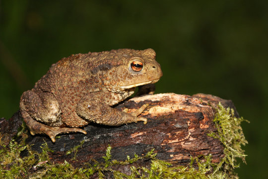 A hunting large Common Toad (Bufo bufo) sitting on a mossy log.