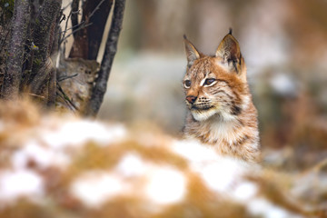 Young eurasian lynx in the forest at winter looking for prey