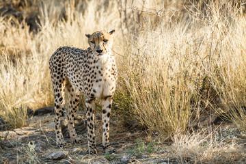 Gepard (Acinonyx jubatus), im hohen Gras