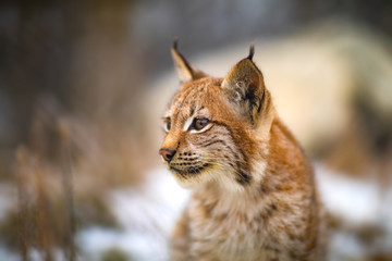 Photo on textile frame Lynx Portrait of eurasian lynx in the forest at winter looking for prey