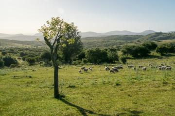 Rural landscape with sheeps