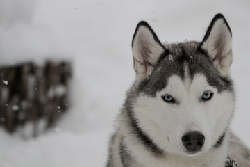 Siberian Huskies outside in Canada during winter