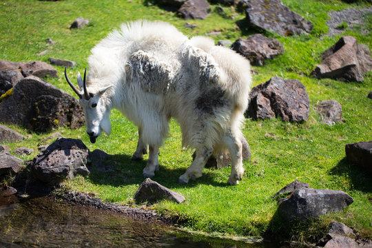 alaskan sheep in field