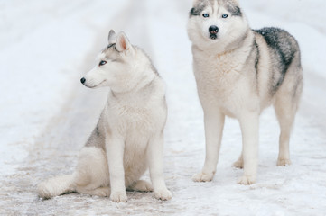 Winter portrait of lovely couple of syberian husky puppies standing on snowy road. Cute breeding male & female white dogs in love. Beautiful domestic funny pet family. Pair of playful animals friends