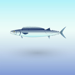Barracouta fish illustration
