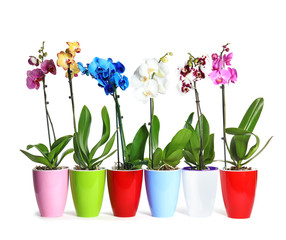 Beautiful tropical orchid flowers in pots on white background
