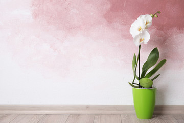 Beautiful tropical orchid flower in pot on floor near color wall. Space for text