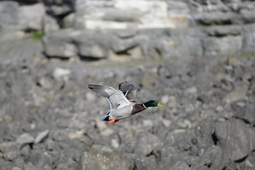 Mallard duck coming into land wings up
