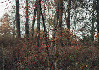 red berries on a tree in a forest in the winter