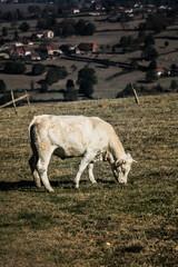 vaches dans bocage charolais