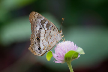 Butterfly 2018-37 / White peacock butterfly (Anartia jatrophae) on purple flower