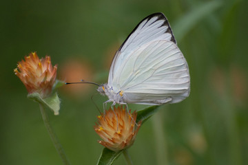 Butterfly 2018-51 / Great Southern White Butterfly  (Ascia monuste)