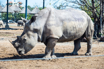 The white rhinoceros or square-lipped rhinoceros at the zoo.