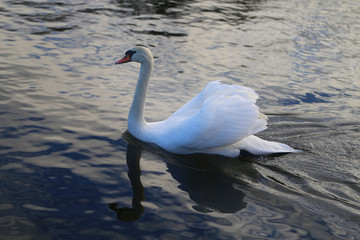 Bright macro photo of a beautiful white swan