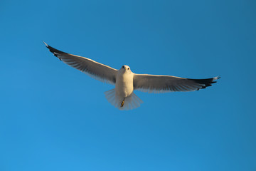 Super macro photo of a white seagull in flight