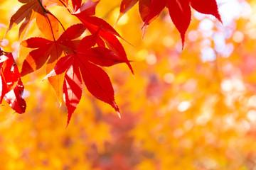 秋になり真っ赤に紅葉したモミジの葉
