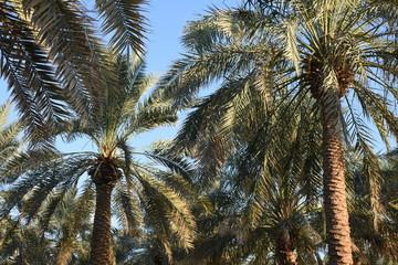 Palm Grove and Blue Sky, Al Ain Oasis, UAE
