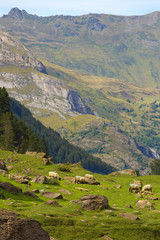 Flock of sheep grazing on the meadow with a mountain slopes on bacground, valley of Gavarnie, Pyrenees Occidentales, France