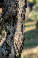 Old grapevine in the vineyard