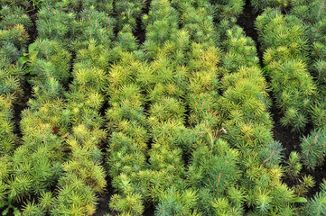 Seedlings of young coniferous trees