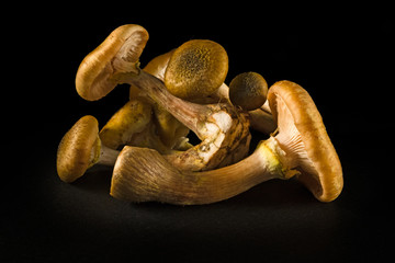 "Some mushrooms of ""Armillaria tabescens"" also called good family, on a black background"