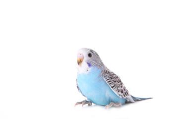 Isolated budgerigar. Little budgerigar isolated on white background