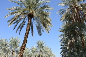 Palm Trees in Direct Sunlight, Al Ain Oasis, UAE