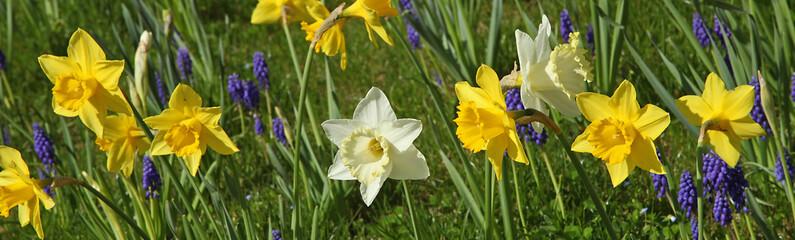 Narcisse et muscaris dans une pelouse