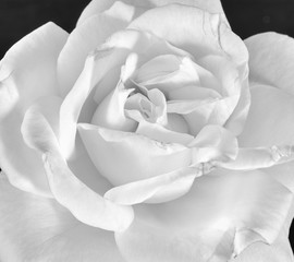 Fine art still life monochrome black and white flower macro photo of a the inner of a single isolated wide open rose blossom with detailed texture