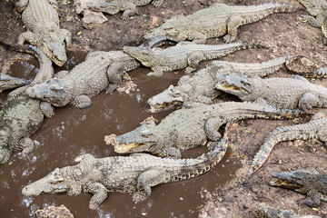 Many crocodiles at the farm in Cuba.