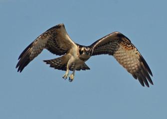 osprey flying in the sky