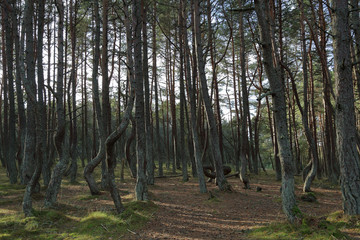 Beautiful landscape of the Dancing Forest in the Curonian Spit National Reserve, Russia