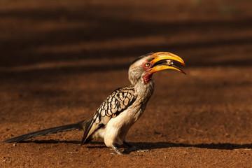 Hornbill Yellow-billed eating bread