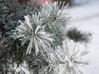 frozen Christmas tree in frost background