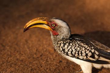 Hornbill Yellow-billed