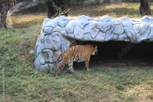 Indian Bengal Tiger Roaming And Walking Near Cage Inside Zoo