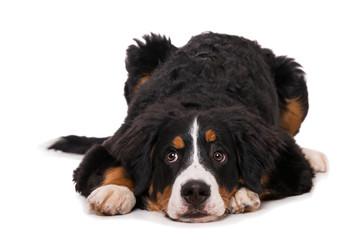 Young bernese mountain dog lying isolated on white background