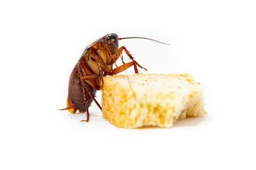 Cockroach is contagion dissemination, Cockroach eating bread which isolated white background.