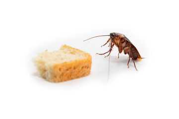 Cockroach is contagion dissemination, Cockroach finding food which isolated white background.